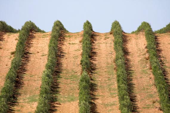 El olivar superintensivo como m todo de cultivo for Sustrato para mesa de cultivo