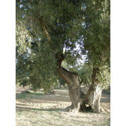 Olivos centenarios del Bajo Aragón.