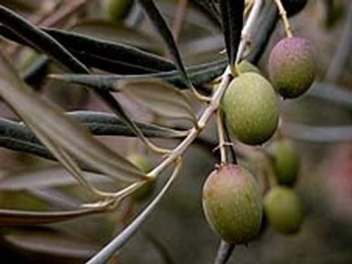 Aceite de oliva, virgen extra del Bajo Aragón
